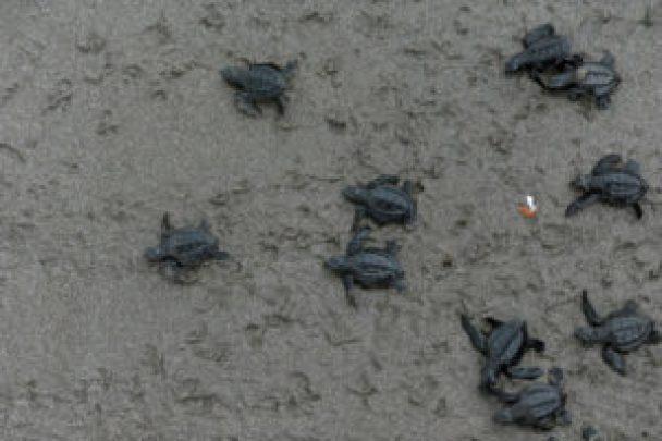 El Salvador registra nuevas muertes de tortugas marinas en sus costas - 53e4ffe10d72a13f76bad185ac35e38ea7bc1f4e-300x200