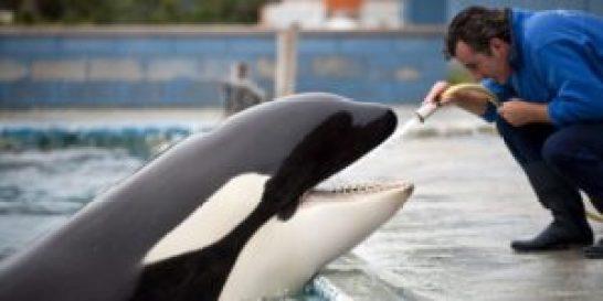 Los materiales de los parques acuáticos dañan la dentadura de las orcas - th_1cce678baa2865fe866ba90e481edd63_orca-dientes-limpieza-300x150