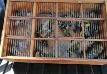 GNR apreende em Vila do Conde dezenas de aves protegidas e identifica suspeitos