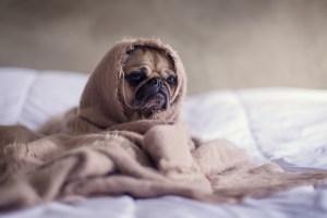 Petit chien enroulé dans une couverture