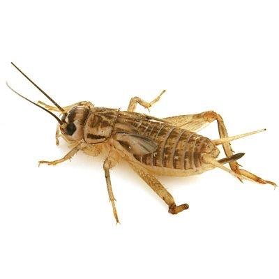 Crickets at water's edge