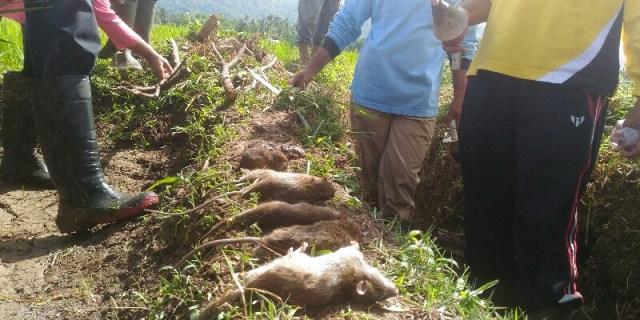 Hama Tikus Semakin Mengkhawatirkan, Puluhan Hektar Gagal Panen