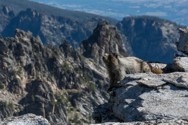 Hoary Marmot from the Trapper Peak