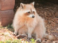 RACCOONS IN THE NEWS: It's Like the Setup to a Tasteless Joke