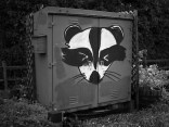 RACCOONS IN THE NEWS: Repeated Operation
