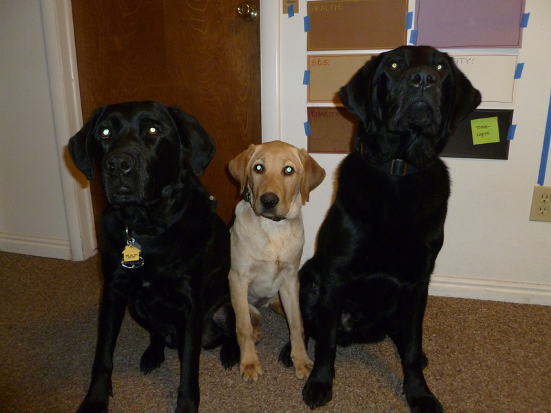 Black Lab Clifford, Yellow Lab Dune and Black Lab Zodiac