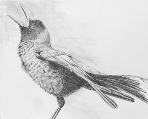grackle drawing web6x5
