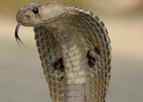 Animales peligrosos en Tailandia (2/6)
