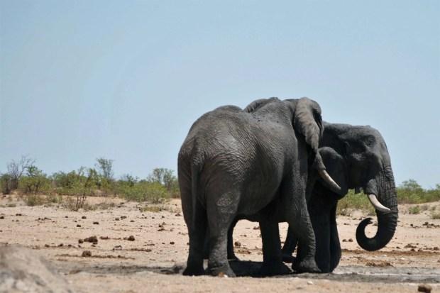 Elefanti all'Etosha Park