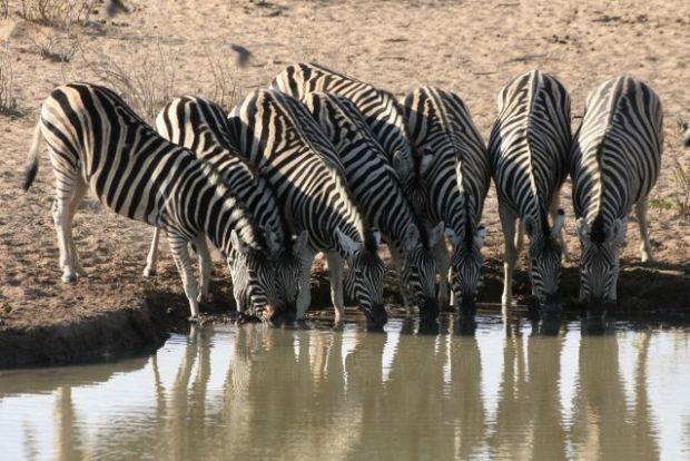 Etosha National Park - Zebre alla water hole