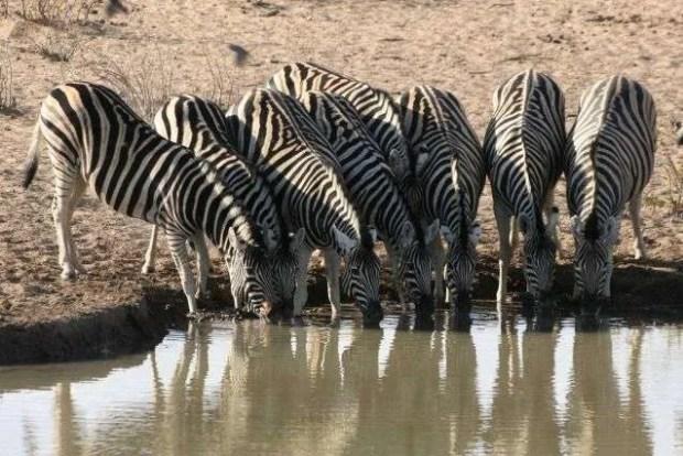 Etosha National Park - Zebre alla water hole