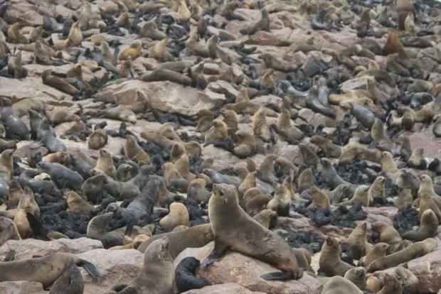La colonia di foche a Cape Cross