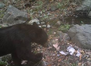 マリブ・キャニオン州立公園に設置されている監視カメラに映し出されたアメリカグマ(国立公園サービス局より)