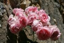Une rose au jardin c'est un cadeau du ciel. Plusieurs roses sont une bénédiction.