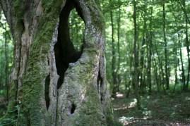 Le chêne creux octocentenaire
