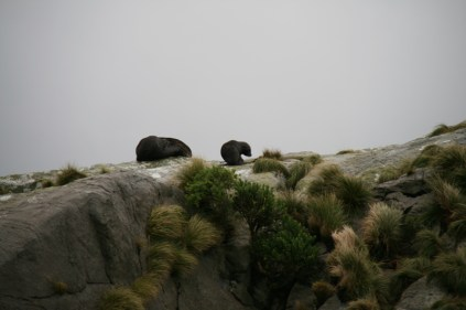 Colonie d'otaries sur les îlots de Nee, à l'embouchure de Doubtful Sound
