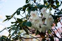 Queenstown – Azalée ou rhododendron