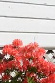 Manapouri – Azalée ou rhododendron