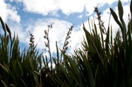 Monkey Island, The Catlins – Harakeke ou lin de Nouvelle-Zélande Les Maoris utilisaient les fibres de l'harakeke pour divers usages : vêtements, pièges à oiseaux, paniers et ustensiles, chaussures, cordes, ...