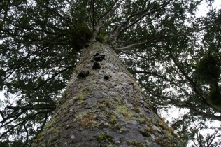 The Coromandel – Kauri