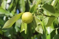 Les citrons mûrissent