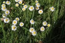 Fleurs sauvages du parc du Grand Trianon