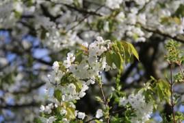Cerisiers en fleurs dans le parc du Grand Trianon