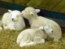 Les petits agneaux de l'Agrodome