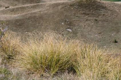 Herbe grasse sur Coronet Peak Station