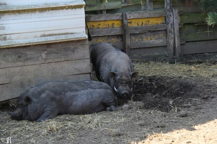 Porky et sa femelle Muscade