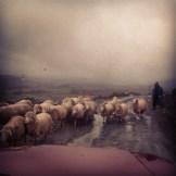 Ein übliches Bild, wenn man mit dem Auto unterwegs ist. Verschiedene Herden kreuzen den Weg.
