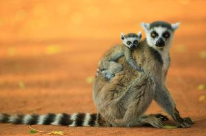 ring-tailed-lemur-mother-and-baby-cyril-ruoso