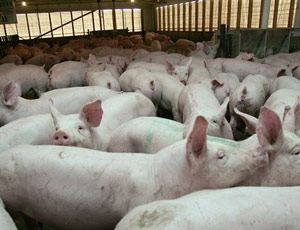 factory-farm-pigs-md
