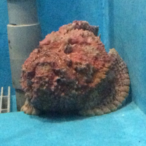 Is it a rock? Coral? Nope, its one big hideous fish. Note the fanned fins protruding from its left side.