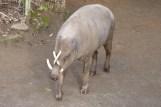 North Sulawesi babirusa