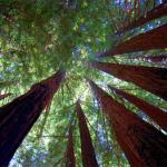 Послание гигантских Красных Деревьев горы Шаста