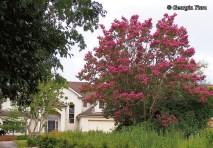 pink crepe myrtle tree