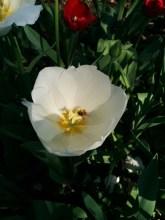 bee white tulip
