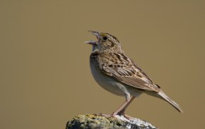 grasshopper_sparrow_ammodramus_savannarum_2862896572