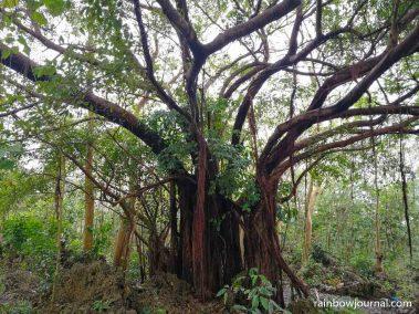 Balete tree inside Enchanted Cave Resort Bolinao
