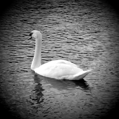 Week 28. A swan at Southampton Common. I tried adding a mask this week.