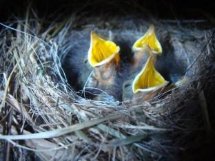 Vogelnachwuchs - Juni