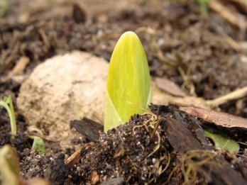 Die ersten Narzissen recken ihre Grün aus dem Boden um ein wenig Sonne zu erschaffen...