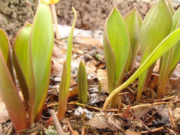 Vorwitzige Tulpen