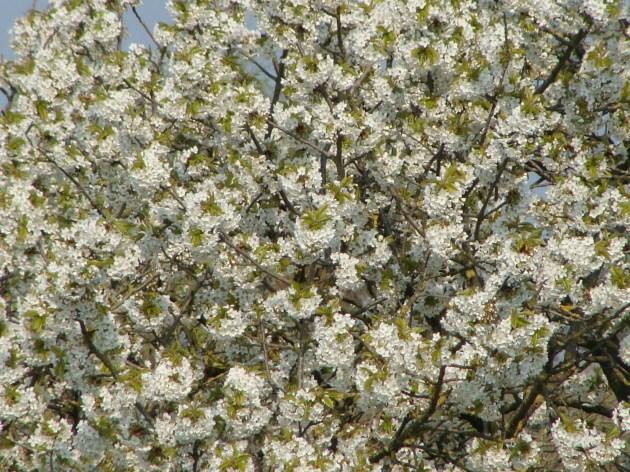 Baum in voller Blüte... :)