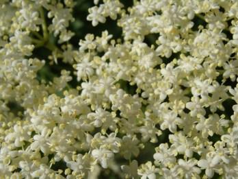 Blütendolden, ich meine, immer noch den Duft in der Nase zu haben...