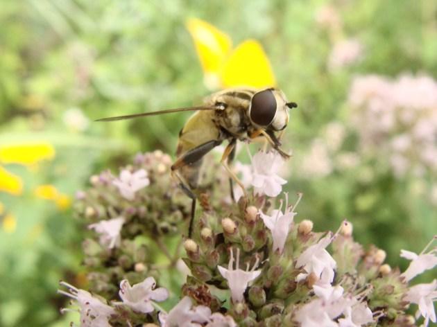 Große Sumpfschwebfliege - Helophilus trivittatus FABRICIUS