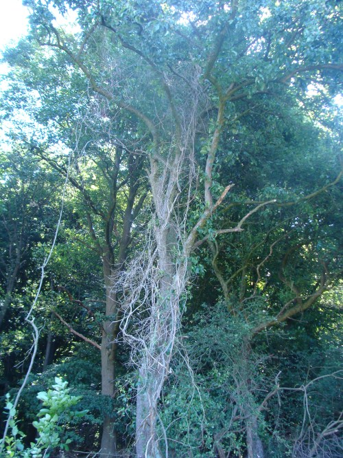 Ein Baum voller Lianen..