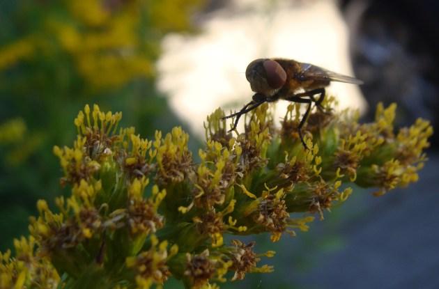 Schwebfliege auf fast verblühter Goldrute