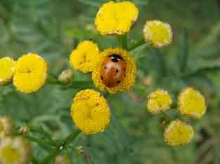 Ein Marienkäfer auf dem Raini- ähm Rainfarn